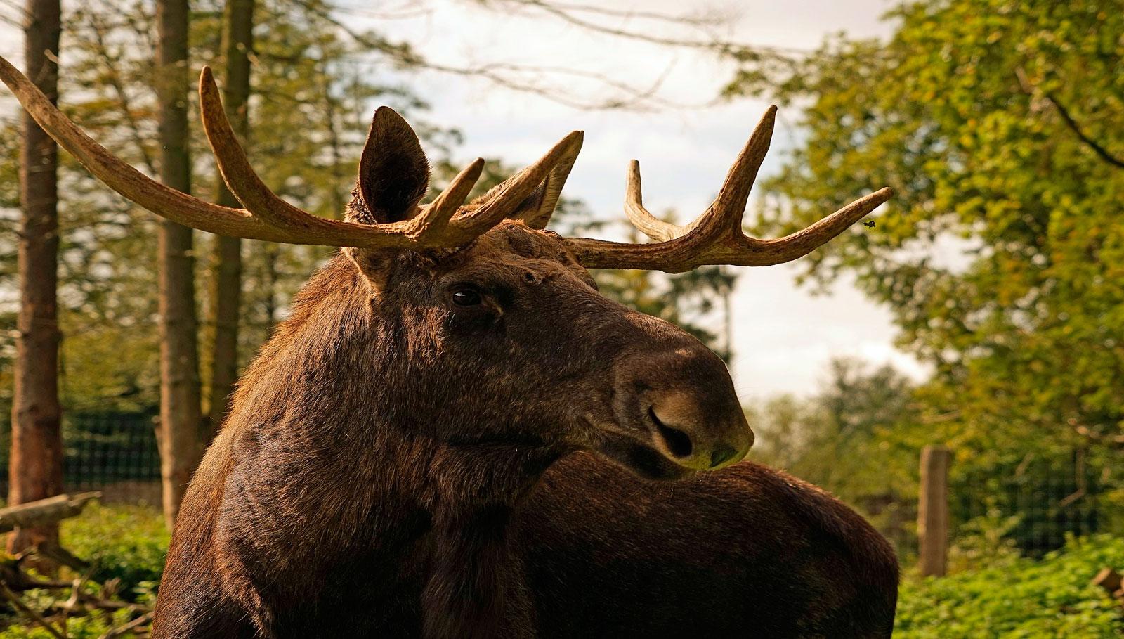 Открыт сезон охоты на лося